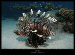 Lionfish - Red Sea - Egypt 10-17mm Tokina by Stew Smith 